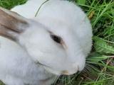 Продаю декоративного кролика - девочка 1,5 года